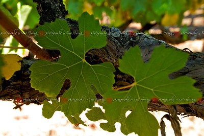 "Chardonnay leaves have ""naked"" veins near the stem"