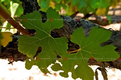 "Chardonnay leaves have ""naked"" veins near the stem"