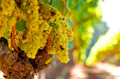 Ripe Chardonnay on the vine