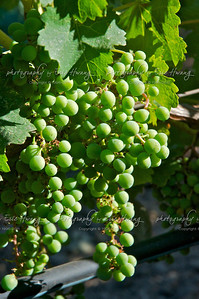 Sauvignon Blanc grapes at veraison