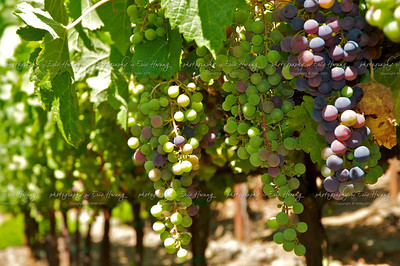 Syrah grapes at veraison