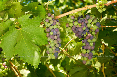 Zinfandel grapes at veraison