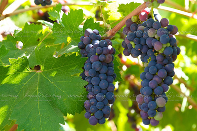 Grapes at veraison