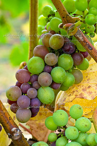 Pinot Noir grapes at veraison