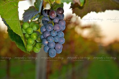 Second growth Pinot Noir grapes hang on a vine in Sonoma County just before harvest.