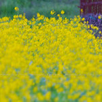 Mustard : Mustard in bloom in Napa and Sonoma, California