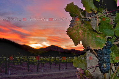 Ripe Cabernet Sauvignon grapes hang on the vine with a colorful sunset in the background.