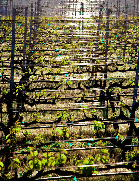 Spring Chardonnay Dawn