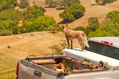 Vineyard Dog, Rockpile AVA
