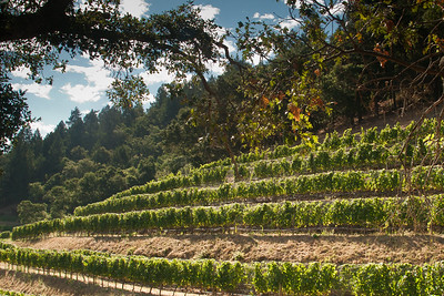 Oaks and Vines in Stags Leap