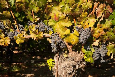 Still-life on the vine