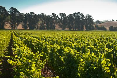 Chardonnay and Eucalyptus