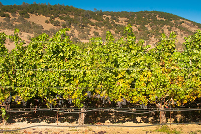 Afternoon Heat on Cabernet In Oakville