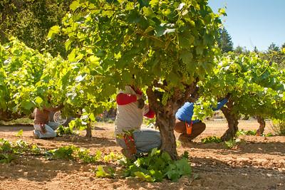 Pruning Ancient Vines, Dry Creek Valley