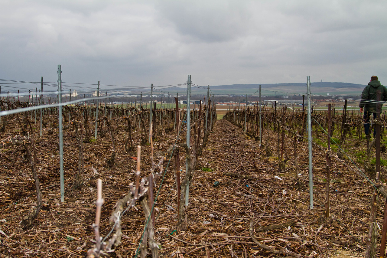 Trois-Puits, 1er Cru vineyards, in the heart of the Champagne growing region, during a typical, cold, windy and rain-scattered day. On the right, viticulturist, oenologist and teacher, François Guerin, walking to inspect the pruning work of his students. Bud break was a little more than 2 months away when this photo was taken.
