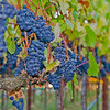 Pinot Noir in the Russian River Valley AVA, ready for harvest