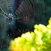 a spider's web spans a row of vines from one side to the other, taken at the lovely Soquel Vineyards in Soquel, CA along the Santa Cruz coastline
