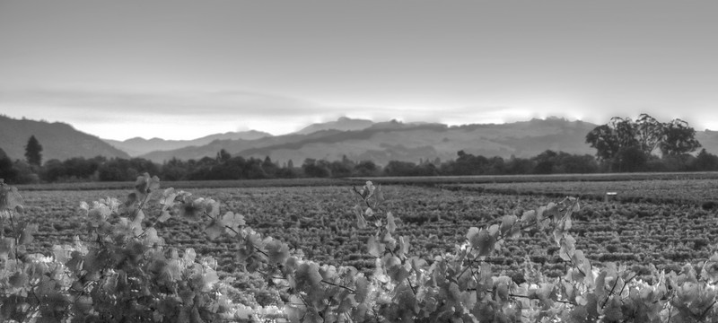 vines of the Russian River Valley AVA, just after sunrise