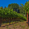 neatly manicured rows of Pinot Noir vines at Soquel Vineyards in the Santa Cruz AVA