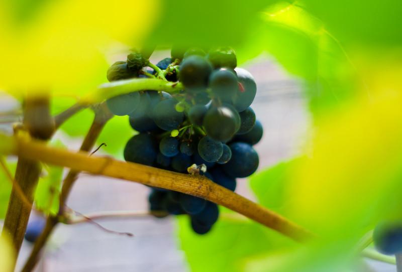uneven ripening 3 pinot noir sm