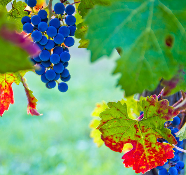 The early morning light and a passing cloud made these Cabernet grapes seem blue for a minute or so.