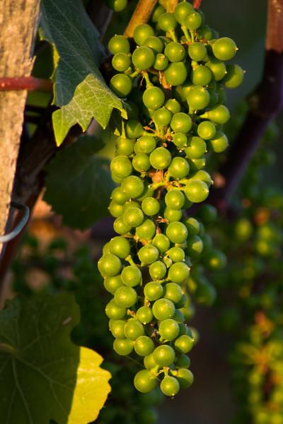 Old Vine Dolcetto, near Rodello, veraison is still some weeks away.
