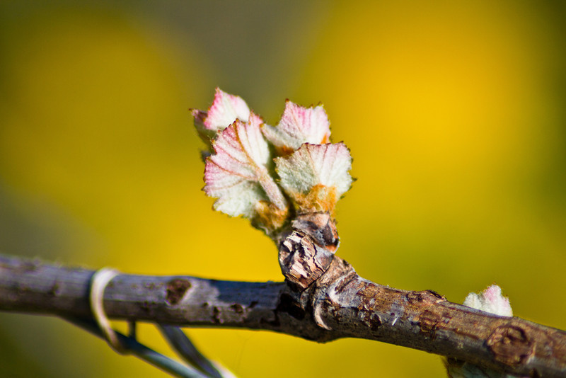 Since I've already got a good start on wine grapes in this album, I thought it might be useful to show what bud break looks like. I took this in Barolo commune on 6 April 2011. Within 10 days, this had already grown about 10 inches (dry, sunny conditions). For reference, this is about the size of your thumbnail, perhaps slightly bigger.