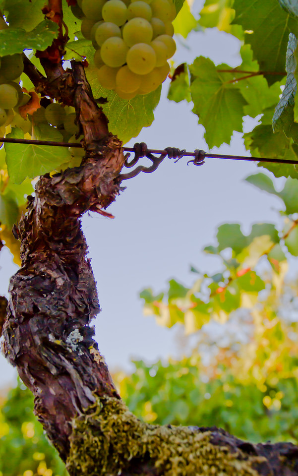 Old Vine Chardonnay, Leveroni Vyd, Sonoma