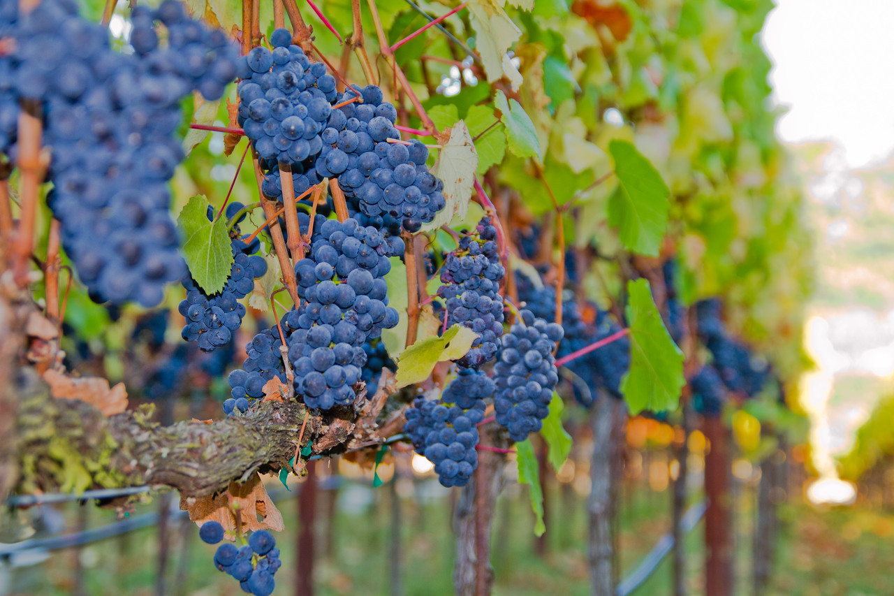 Pinot Noir grapes in the TnT vinyeard an hour before being picked, very early in the morning.