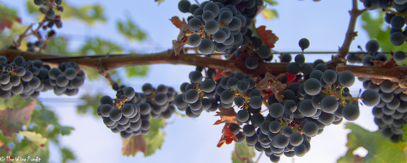 An ant's view - I laid down flat on my back and gazed up at the hanging Cabernet Sauvignon fruit at Kathryn Kennedy vineyards