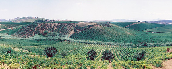 Center Crop of Spadafora Vineyard panorama
