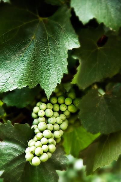 Dreamy Sauvignon Blanc