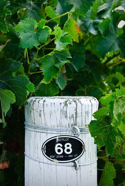 Merlot Vines
