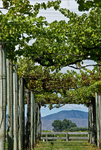 New Zealand Grape Arbor