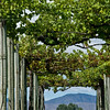 New Zealand Grape Arbor