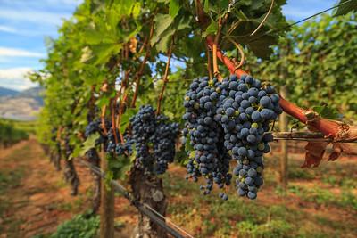 Bench Vines