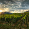 Black Sage Vines