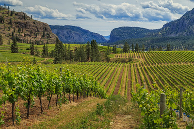 Blue Mountain Vineyards-The Curve in the Vines
