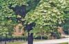 Sugar maple tree.