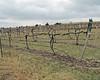 James Arthur Vineyards - pruned St Croix vines.