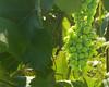 2nd year Norton grape bunch