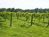 2nd year Norton vineyard