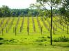 First year Norton grape vineyard.