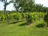 2nd year Norton grape vineyard