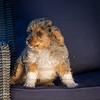 Puppies 8 weeks-300