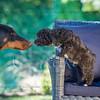 Puppies 8 weeks-312