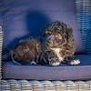 Puppies 8 weeks-311