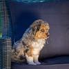 Puppies 8 weeks-302