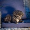 Puppies 8 weeks-308