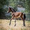 Bella's first foal, Wingates One Knight Stan